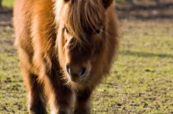 furry-pony