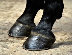 Horse Hoof - Closeu Detail on two Horse Hooves
